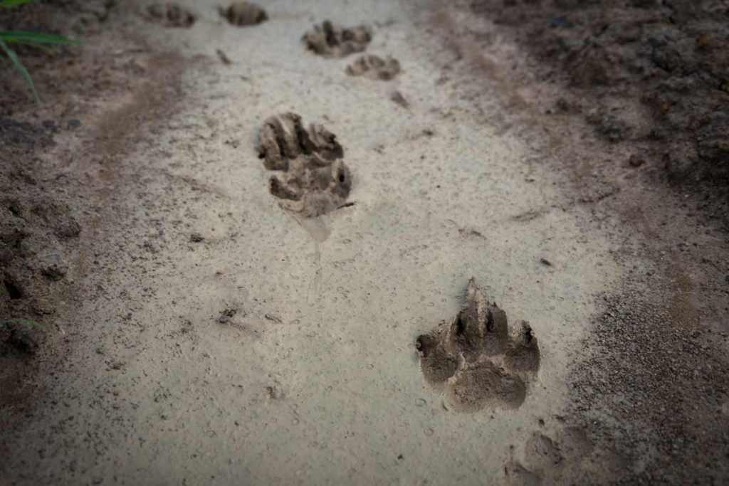 How to Track Animals Using Track Traps
